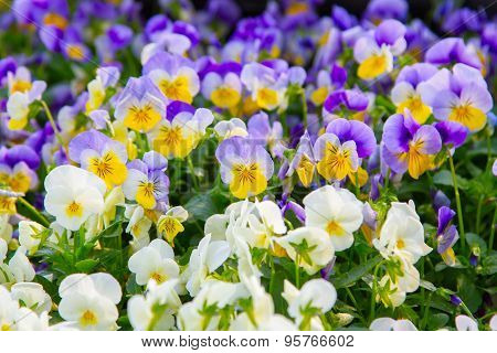 Viola tricolor pansy, flower bed bloom in the garden.