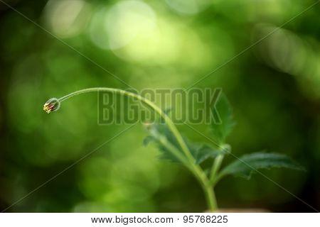 Tridax Daisy Flower