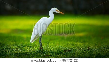 White heron (Egretta garzetta) on the green meadow