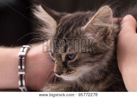 Little kitten in hands. Close up.