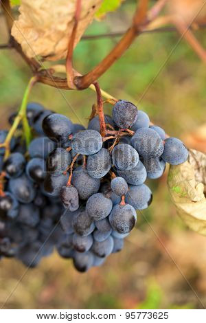 Large bunch of red wine grapes with leaves.