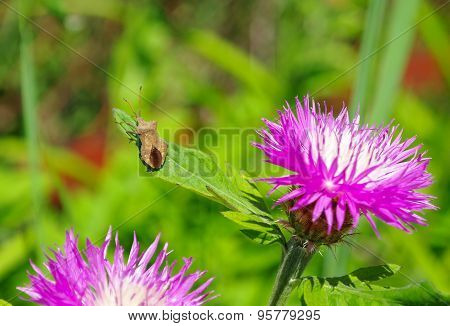 Bedbug Sits On A Leaf Flower Thistles