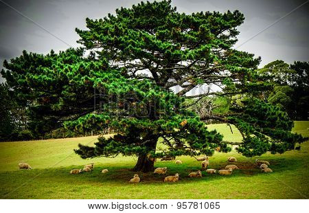 Big Tree Giving Shade To A Herd Of Sheeps