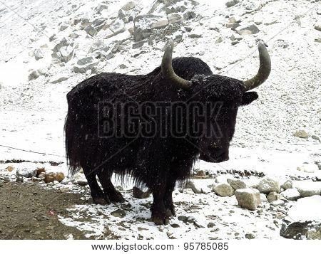 Black Yak On A Snowy Day