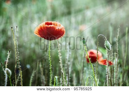 Red Corn Poppy (papaver Rhoeas) In The Meadow