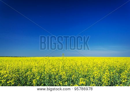 Vibrant Rapefield And Blue Sky.
