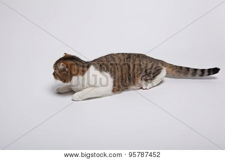 Scottish Fold Kitten. Kitten On A White Background.