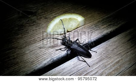 a Cerambycidae longhorn beetle spotted at night