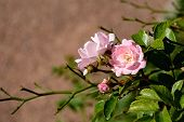 picture of rose bud  - Rose bud on summer day lit by the sun - JPG