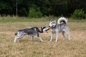 stock photo of dry grass  - Puppy of Siberian Husky plays with adult Husky - JPG