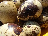 pic of quail  - quail eggs nutrition for people with limited power - JPG