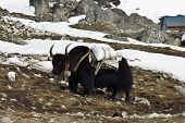 picture of yaks  - Black yak carrying goods - JPG