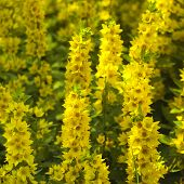stock photo of foreground  - Bunch of yellow flowers focus in the foreground - JPG