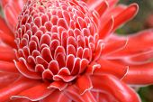 foto of torches  - Close up red Torch Ginger flower Blossom - JPG