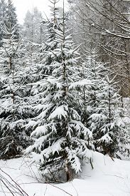 image of blanket snow  - evergreens trees covered in blanket of winter snow - JPG