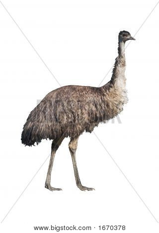 Emu Isolated On White
