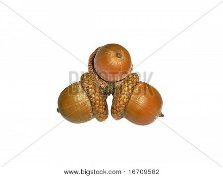 Three acorn of oak isolated on white background
