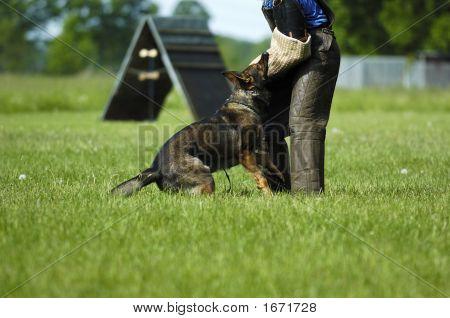 German Shepherd At Work