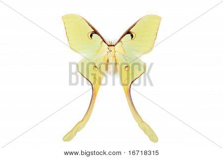 Brown And Yellow Butterfly Actias Maenas Isolated On White Background