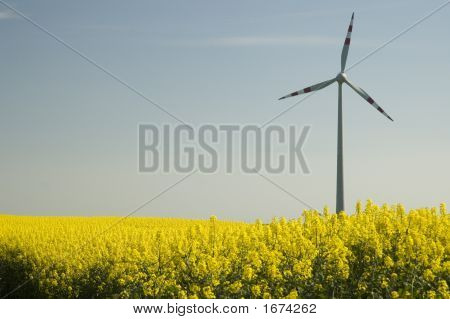 Wind Turbines And Rapeseed Field
