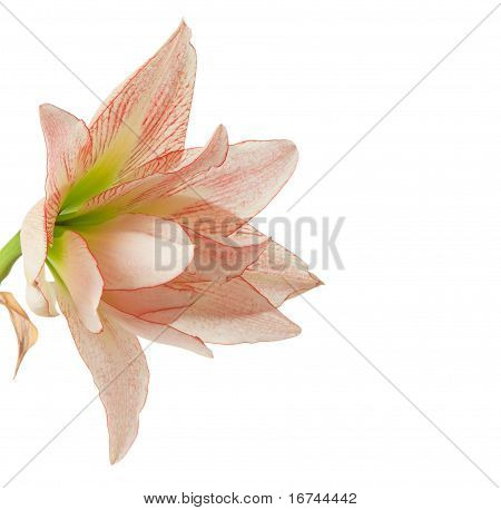 Hippeastrum, Knight's-star