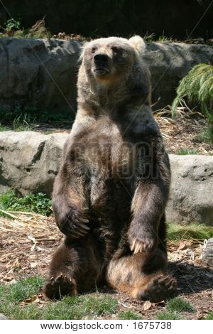 Brown Bear Sitting