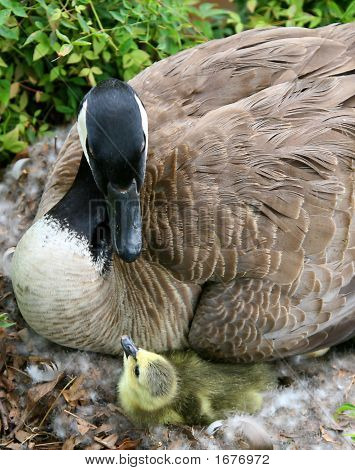 Mother And Baby Canadian Goose