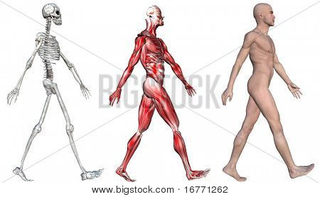 Anatomical illustration of the skeleton and muscles of a walking human male. 3D render.