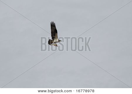 Osprey (North American)