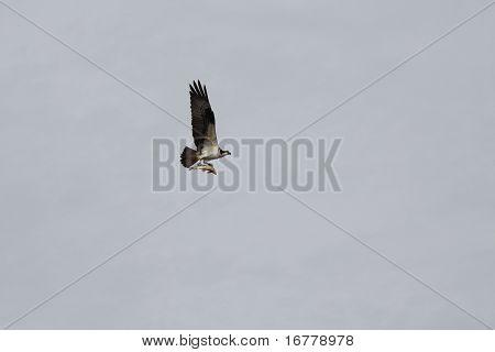 Osprey (North American)