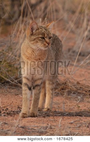 African Wildcat (Felis Lybica)