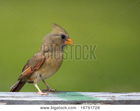 Cardinal Immature