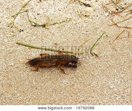 Mole Cricket (gryllotalpa)
