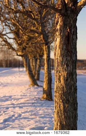 Trees, Standing In A Row