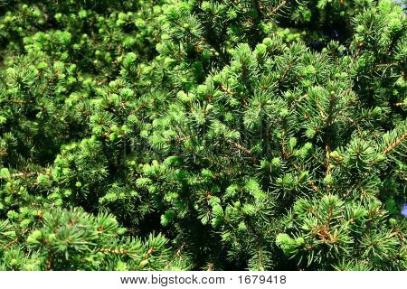 Young Green Pine
