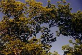 stock photo of pecan tree  - This is a photo of pecan trees in late Spring - JPG
