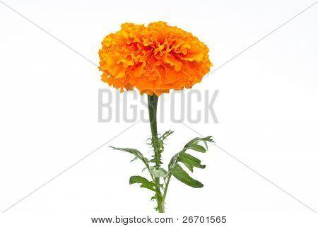 Orange Marigold (Tagetes)
