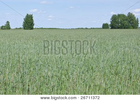 feld of green wheat in a spring - natural seasonal landscape