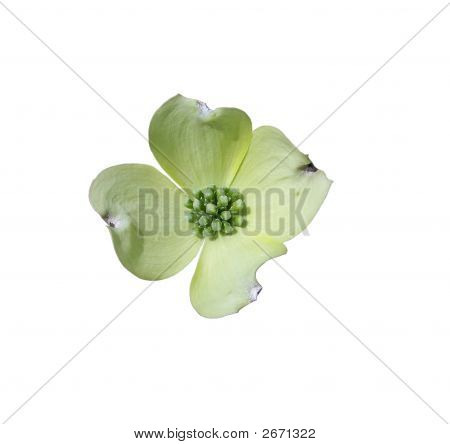 Dogwood Flower Over White