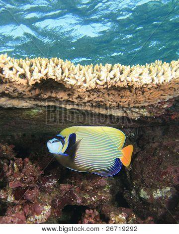 Emperor Angelfish under a Table Coral