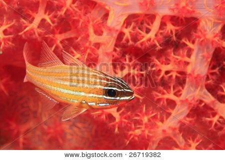 Cardinalfish and Soft Coral