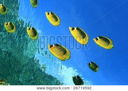 Raccoon Butterfly fishes