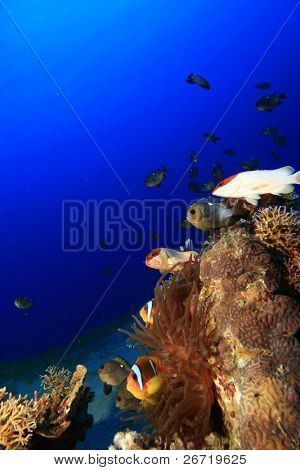 Coral Reef with anemonefishes, damselfishes and Blacktip Groupers
