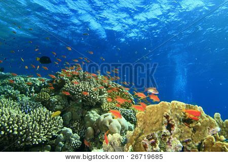 A scene of coral reef in the Red Sea