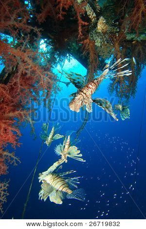 Group of hunting Lionfishes