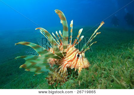Lionfish hunts over seagrass