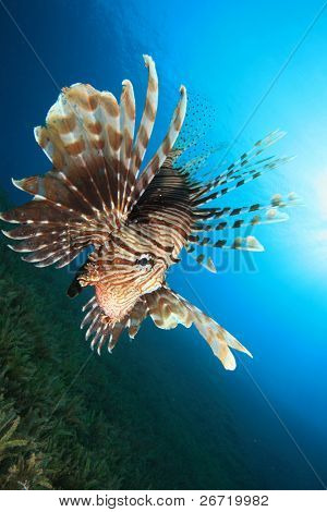 Lionfish hunting over Seagrass