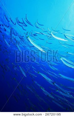 School of Yellowtail Barracuda (Sphyraena flavicauda)