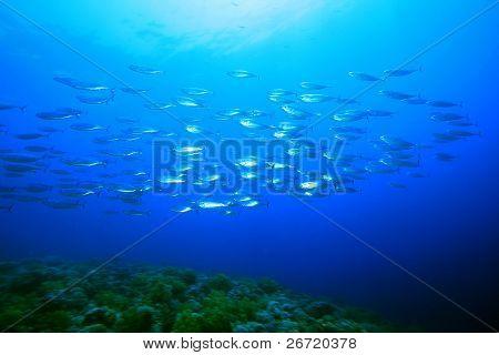 School of Striped Mackerel (Rastrelliger kanagurta)
