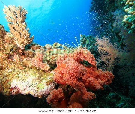 Lionfish and Glassfish on a colorful coral reef